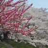 Hot Pink on Almost White.<br /> Some hot pink Momo (peach blossoms) against the almost white Sakura (cherry blossoms) at Yawata in Kyoto Prefecture.