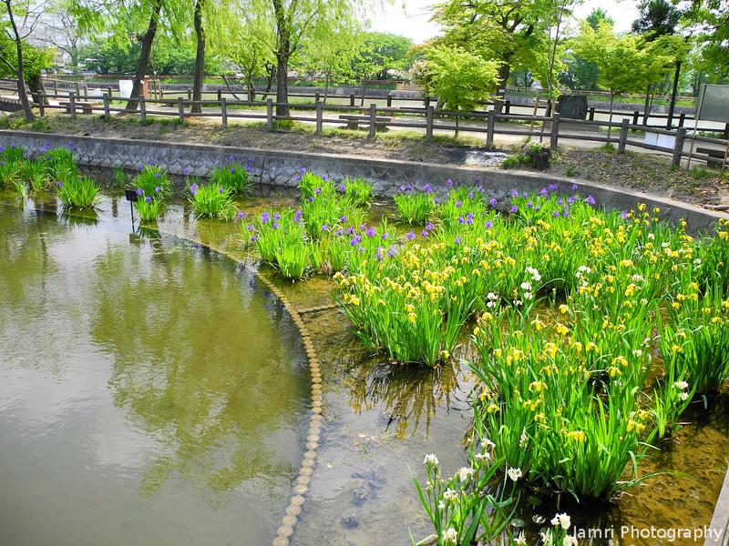 Irises Around the Corner