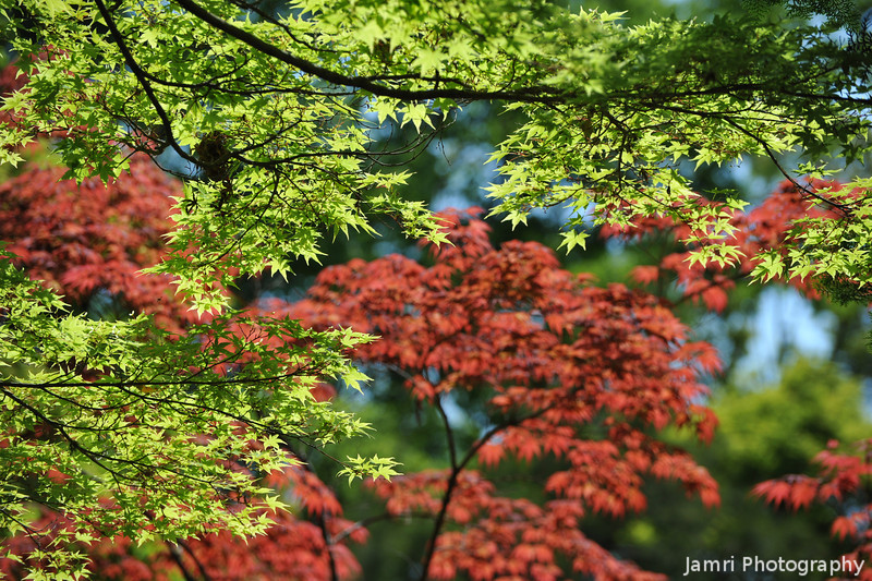 Regular Japanese Maples and Ever Red Maples.<br /> Both with fresh leaves on them.<br /> At the Kyoto Botanical Garden.
