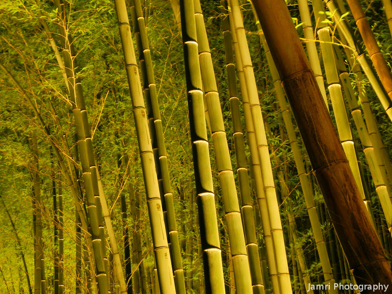 Bamboo in Yellow Lighting.<br /> It actually looked more yellow to my eyes. I had to manually adjust the WB, but I still couldn't get it to match my eyes. See the next image for how it turned out with auto WB.