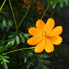 Orange Cosmos.<br /> One of the early Autumn flowers in this part of Japan, but not a native Japanese flower.
