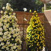 Christmas Tree like Chrysanthemums