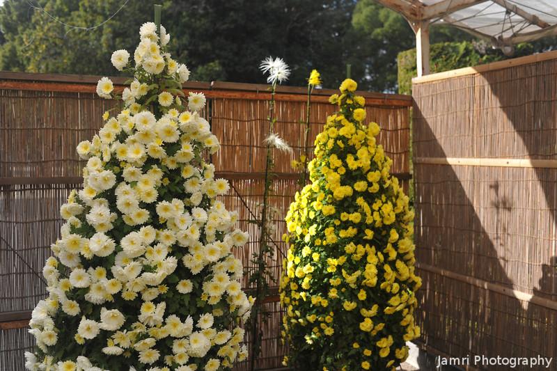 Christmas Tree like Chrysanthemums