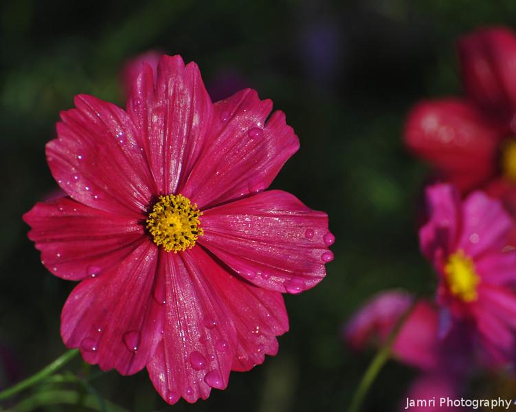 Deep Pink Cosmos.