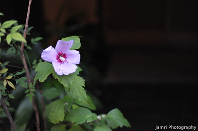 Hibiscus in Gion