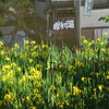 Yellow Irises and Reflections