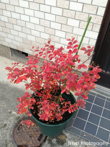 Bob's Plant displaying it's Autumn Colour.