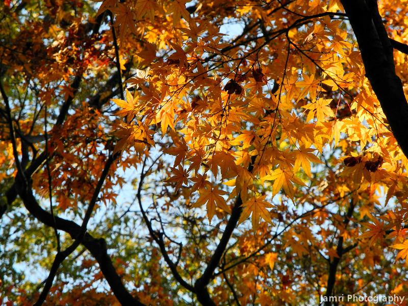 Sunlight Through Maple Leaves.