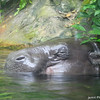 Pigmy Hippo.<br /> At the Singapore Zoo.