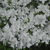 White Azaleas in the Shade.<br /> Near Nagaoka Tenmangu Shrine, Nagaokakyo, Kyoto-fu, Japan.