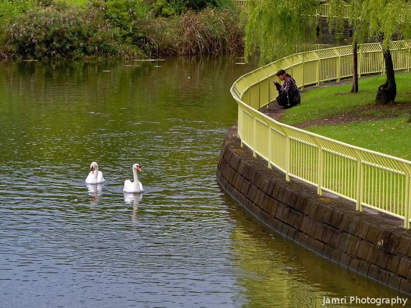 Photographing the Swans