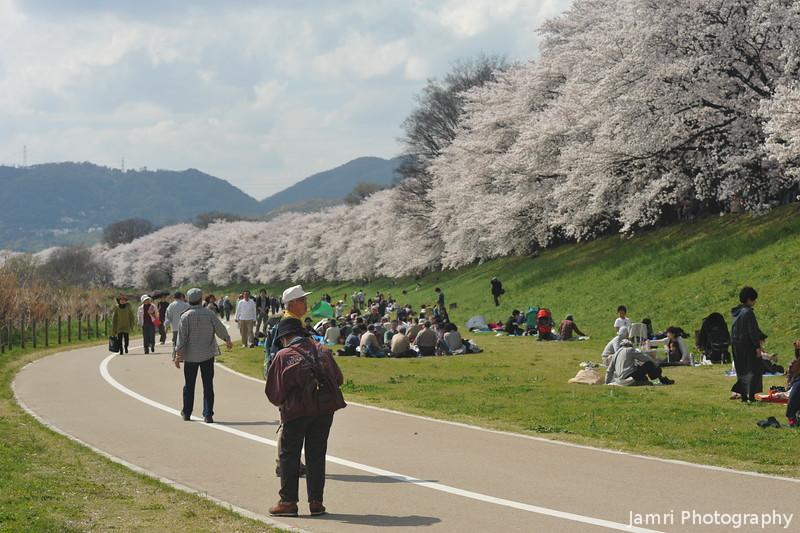 Viewing the Sakuras