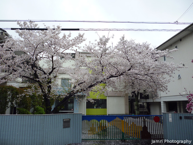 The Sakura at the North Gate.<br /> Of Megumi Kindergarten.<br /> Photo by Ritsuko.