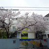 The Sakura at the North Gate.<br /> Of Megumi Kindergarten.<br /> Photo by Ritsuko.