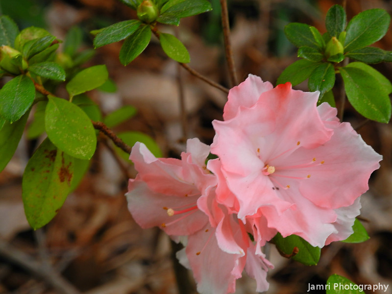 Azaleas.<br /> We went up to a cafe in the hills just outside of the Perth metro area. In their garden they had some flowers that are also found in Kyoto, but unlike Kyoto where they bloom at different times, in Perth's climate they all bloom at the same time.
