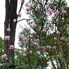 Magnolias in the Australian Bush.<br /> We went up to a cafe in the hills just outside of the Perth metro area. In their garden they had some flowers that are also found in Kyoto, but unlike Kyoto where they bloom at different times, in Perth's climate they all bloom at the same time.