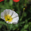 White Poppy.<br /> At the Kyoto Botanical Garden.