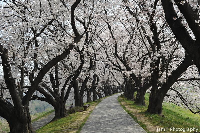 A Winding Path through the Sakuras.