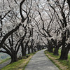 A Winding Path through the Sakuras.