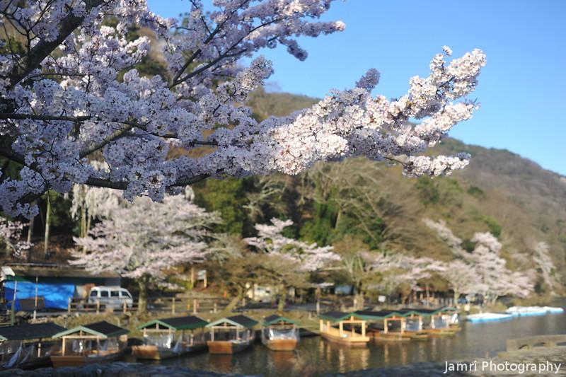 Up Close to a Sakura