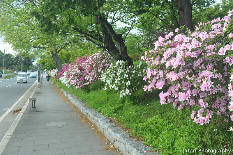 Azaleas along the Footpath.<br /> Near Nagaoka Tenmangu Shrine, Nagaokakyo, Kyoto-fu, Japan.
