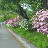 Azaleas along the Footpath.<br /> Near Nagaoka Tenmangu Shrine, Nagaokakyo, Kyoto-fu, Japan.