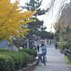 A Ginkgo near Gion-Shijo Station