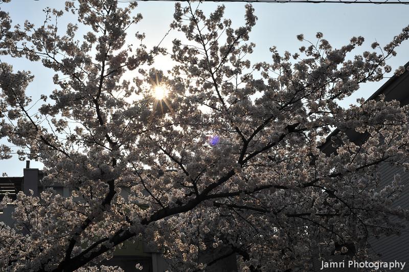 The Sun Shining Through the Sakuras.<br /> At Megumi Kindergarten.