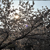 The Sun Shining Through the Sakuras.<br /> At Megumi Kindergarten.