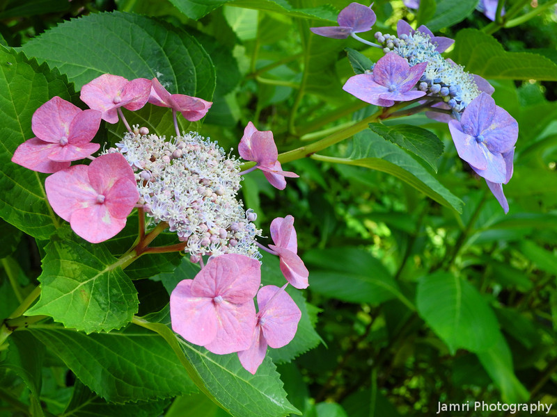"""Pink and purple.<br /> """"Framed"""" Hydrangeas. In Japanese these kind of Hydrangeas are called がくあじさい(gaku ajisai, gaku = framed as in a picture frame, ajisai = hydrangea)."""