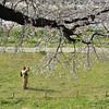 A Sakura branch and a Photographer.