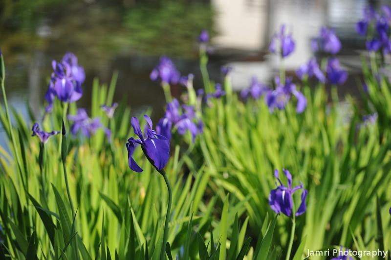 A Few Purple Irises