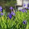 A Few Purple Irises