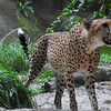 Cheetah.<br /> At the Singapore Zoo.