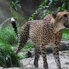 Cheetah.<br /> At the Singapore Zoo.