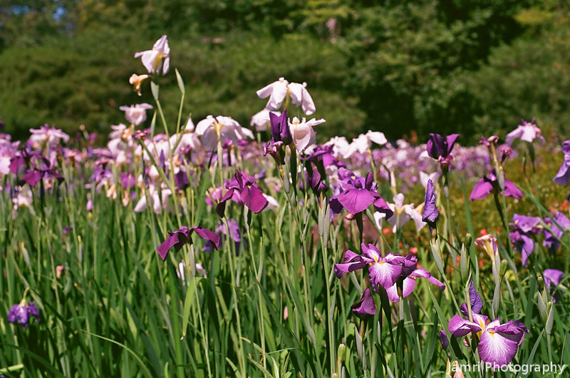 In the amongst the Irises