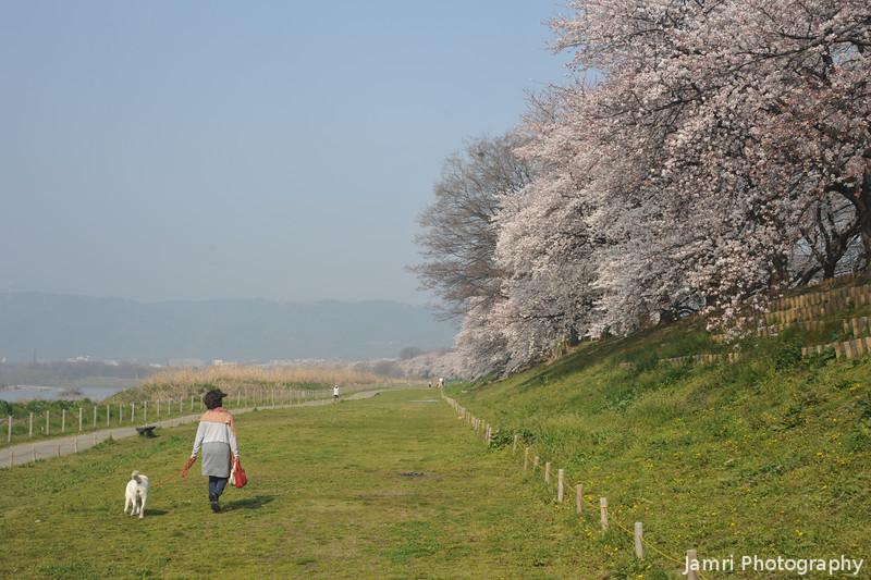 Walking the Dog.<br /> By the Sakuras at Yawata.