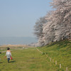 Walking the Dog.<br /> By the Sakuras at Yawata.