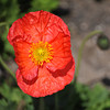 Orange Poppy.<br /> At the Kyoto Botanical Garden.