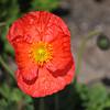 Orange Poppy.<br /> At the Kyoto Botanical Garden.