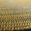 Empty Rice Field.