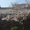 Sakura by the Castle Wall