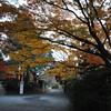 A Shadowy Maple.