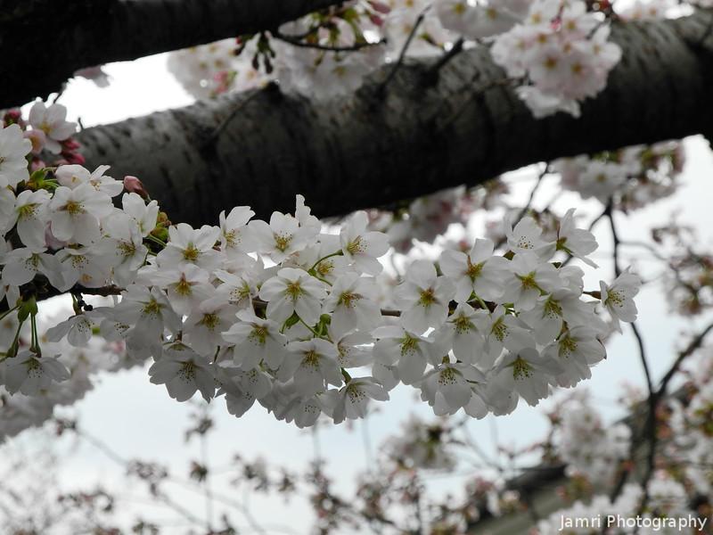 The Sakura Season has begun.<br /> Just after we got back from Singapore.