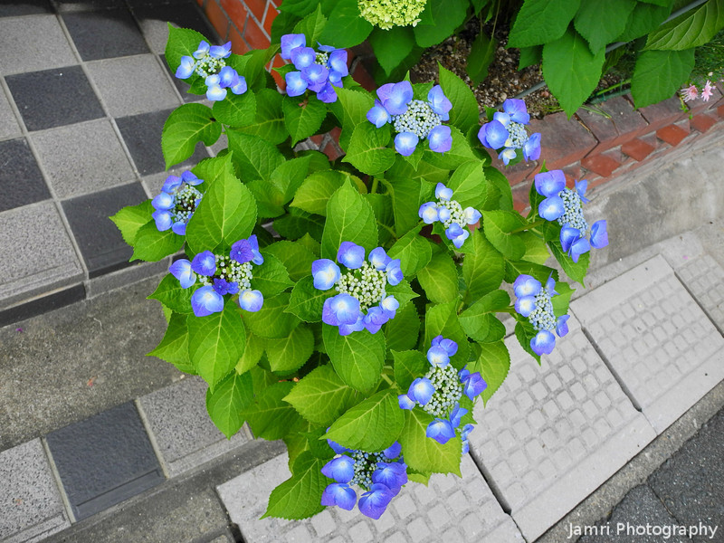 A Small Hydrangea Plant.<br /> Outside a Barbershop in Nagaokakyo, Kyoto-fu.