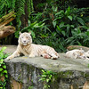 Two White Tigers.<br /> At the Singapore Zoo.
