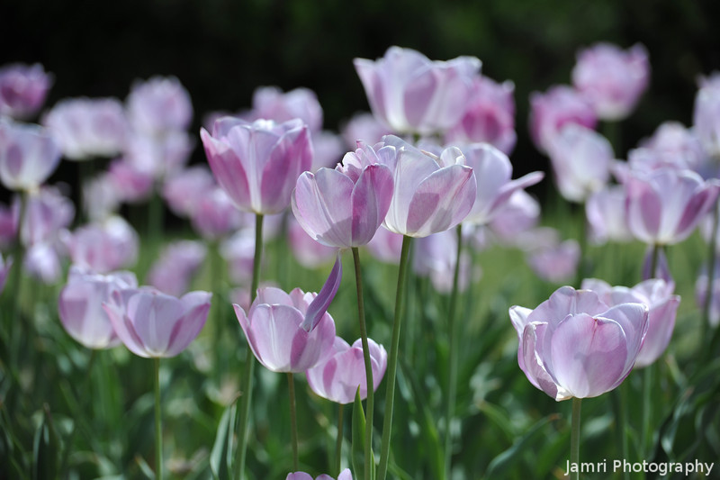 Purple Tulips.<br /> At the Kyoto Botanical Garden.