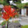 Red Saga Chrysanthemum