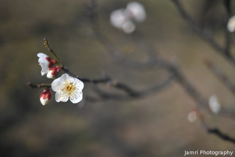 The First Blooms.<br /> Ume (Plum Blossoms) are the first of the flowering stone fruit trees to bloom in the year, they are followed by Momo (Peace Blossoms), Anzu (Apricot Blossom) and then Sakura (Cherry Blossoms).
