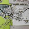 Sakura in front of Megumi Kindergarten.